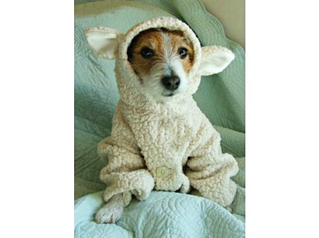 jack-russell-dressed-as-lamb