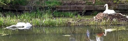 Little Lever swan