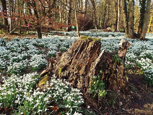 Copy of Lytham Hall - snowdrop walk 019