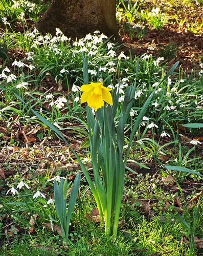 Copy of Lytham Hall - snowdrop walk 028