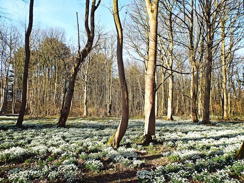 Lytham Hall - snowdrop walk 031