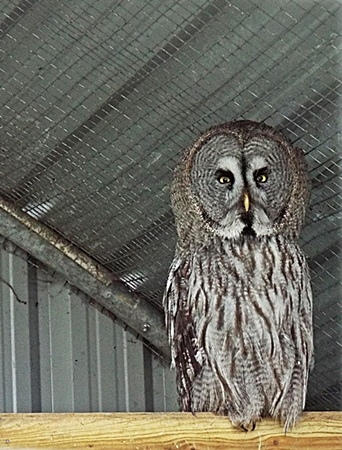 Great grey owl, native to North America, Europe and Asia