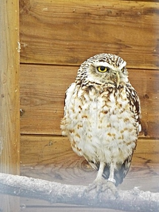 Burrowing owl, native to North and South America